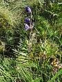 Aconitum napellus plant (09).jpg