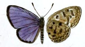Acytolepis ripte - Image: Acytolepis ripte
