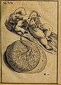 Adriani Spigelii Brvxellensis Eqvitis D. Marci De formato foetv - liber singularis Æneis figvris exornatvs, epistolæ dvæ anatomicæ, tractatvs de arthritide - opera posthvma studio Liberalis Cremae (17911599706).jpg