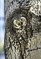 Aegolius funereus (Tengmalm's Owl), Oulu, Finland.jpg