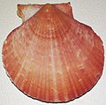 Aequipecten opercularis (queen scallop) 2.jpg
