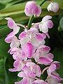 Aerides rosea flower.jpg
