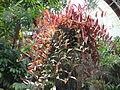Aeschynanthus marmoratus.JPG