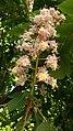 Aesculus hippocastanum.000 - Ponferrada.jpg