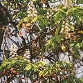 Aesculus hippocastanum14.jpg