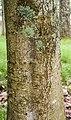 Aesculus indica in Hackfalls Arboretum (1).jpg