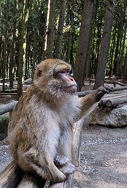 Affe der beim Affenberg in Salem nach Popcorn verlangt