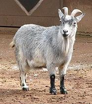 African Pygmy Goat 005.jpg