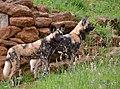 African wild dogs (36267984775).jpg