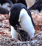 Afternoon landing (-5) on Gourdin Island just of the N tip of the Antarctic Peninsula - more Aselie Penguins (Pygoscelis adeliae) nesting with young - (25880175682).jpg