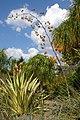 Agavaceae, Mt Coot-tha Botanic Gardens, Toowong IMGP0010.jpg