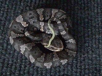 Agkistrodon taylori - A. taylori, juvenile.