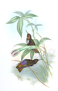 Aglaeactis castelneaui - Gould.jpg