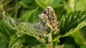 File:Aglais urticae larvae 2.ogv
