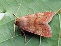Agrochola helvola - Flounced chestnut - Пухоногая совка жёлто-красная (27235905308).jpg