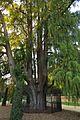 Ahuehuete, Taxodium mucronatum, en el parque de El Retiro, 2.jpg