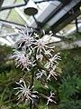 Ainsliaea cordifolia var maruoi2.jpg