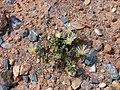Aizoaceae-Karoo-P1010053.jpg
