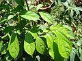 Alangium salvifolium 11.JPG