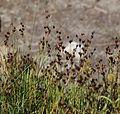 Alaska rush Juncus mertensianus swath-in-seed.jpg