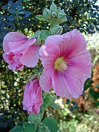 Alcea rosea threeflowers.jpg