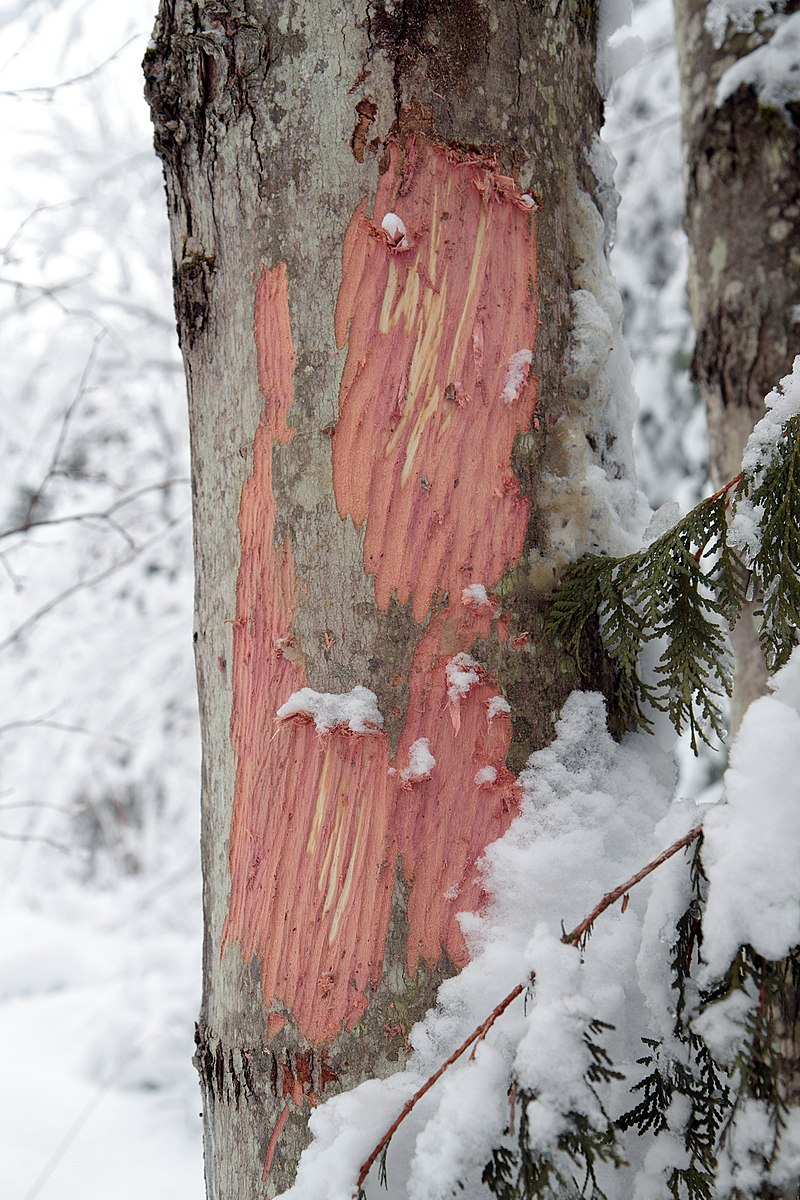 Alces alces bark stripping.jpg