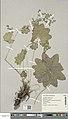 Alchemilla acutiloba herbarium (02).jpg