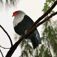 Alectroenas pulcherrima -Seychelles-8-4c