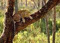 Alert Leopard.jpg