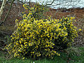 Alexandra Lake Wanstead Flats Redbridge London - Gorse bush.jpg