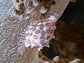 Allied Cowrie (Diminovula margarita) (43709550832).jpg