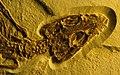 Alligatorellus sp skull - Solnhofen, Burgmeister Muller Museum.jpg