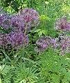 Allium cristophii BotGardBln 20170610 C.jpg