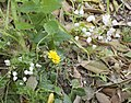Allium neapolitanum-3384.jpg