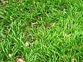 Allium paradoxum 26-04-2010 562.jpg