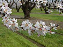 Syndrome d'effondrement des colonies d'abeilles (article, photos et vidéo/documentaire) 220px-Almond_blossoms_branch
