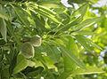 Almonds 2345.jpg