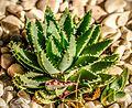 Aloe (33166459080).JPG