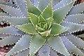 Aloe brevifolia Brevifolia 0zz.jpg