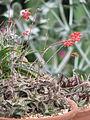 Aloe descoingsii (20070276556).jpg