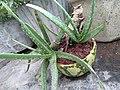 Alovera plant in water melon peel.jpg
