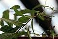 Aloysia triphylla 4zz.jpg