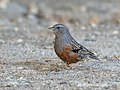 Alpine Accentor (Prunella collaris) (33773707548).jpg