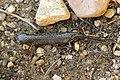 Alpine newt - Ichthyosaura alpestris (41352837104).jpg