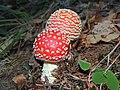 Amanita muscaria (30351760943).jpg