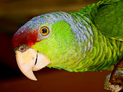 Amazona finschi -upper body -captive-8a.jpg