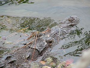Crocodile Lake National Wildlife Refuge - Image: American Crocodile 1