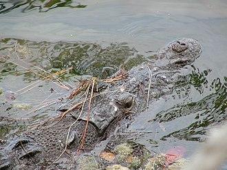 Crocodile Lake National Wildlife Refuge - Image: American Crocodile 1