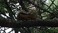 American Red Squirrel (Tamiasciurus hudsonicus) - Thunder Bay, Ontario.jpg