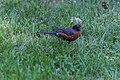 American Robin (43294899925).jpg